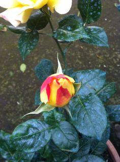 The rose foto 30x40