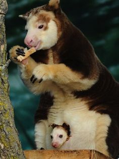 Matschie's Tree Kangaroos Are The Coolest Marsupials Ever - BuzzFeed Mobile