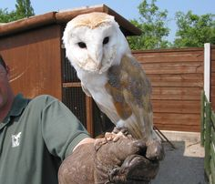 birds of prey | File:Tabley Superior - Gauntlet Birds of Prey Centre.jpg - Wikipedia ...