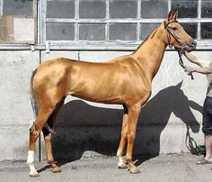 This horse was nominated the most beautiful horse in the world.