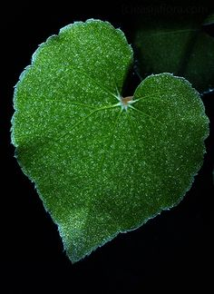 green by quenalbertini - green Begonia bataiensis-via hortlog.blogspot...