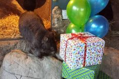 World's Oldest Wombat Is Single And Ready To Mingle | Mental Floss