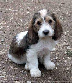petit basset griffon vendeen puppy - omg, he looks like so adorable Dog Breed Names, Dog Names, Dog Breeds, Cute Puppies, Cute Dogs, Dogs And Puppies, Doggies, Fox Terriers, Irish Setter