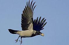Varis  BirdLife Suomi - Pihabongaus