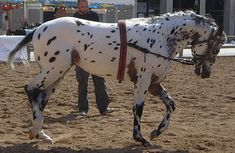 Welcome to the new and improved breeds section, have a look around and meet a breed or two.Appaloosa Sport Horse Country of Origin: USA
