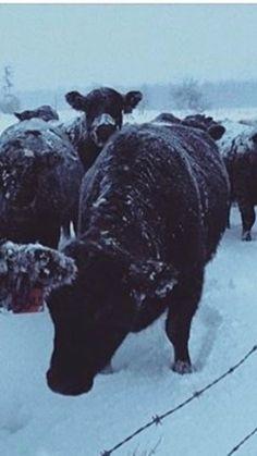 19 Best Ukraine #1 Cattle Breeds images in 2019   Calves