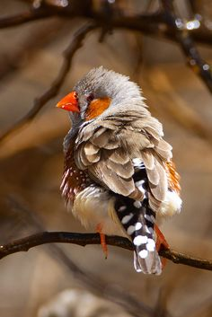 Zebra Finch Photo by Kevin B. Agar on Flickr