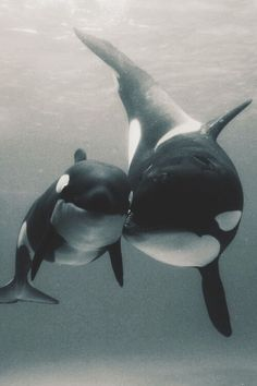 Orca Mom with calf....they touch one another often to express comfort and love. This continues for two years .
