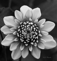 Ala Mode Dahlia In Black and White - Olympia, Washington - Available in canvas print, framed print, art print, acrylic print, metal print, greeting card, iPhone case and Galaxy case