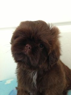 KC Chocolate Orange Shih Tzu Boy ,Imperial lines | Dorchester ...