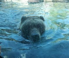 Bear at MN Zoo