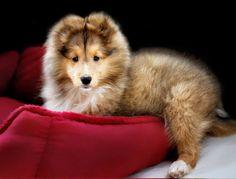 Adorable Sheltie pup