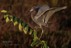 little blue strut by VeroniqueViardinPhotography #animals #animal #pet #pets #animales #animallovers #photooftheday #amazing #picoftheday