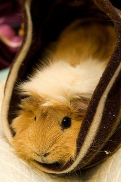 I have my baby boy Crackle he absolutely the cutest guinea pig in the whole world xx