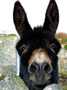 donkey - I've always wanted one of these - for more from Mexico, visit www. Donkey Donkey, Cute Donkey, Mini Donkey, Farm Animals, Animals And Pets, Funny Animals, Zebras, Beautiful Creatures, Animals Beautiful