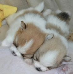 Pomeranian puppies napping