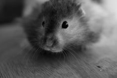 The Black and White Challenge. 2/5, my cute hamster Vinny!
