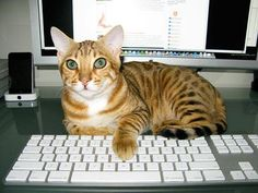 cats on keyboards