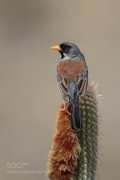 Buff-bridled Inca-Finch by TroyEcol