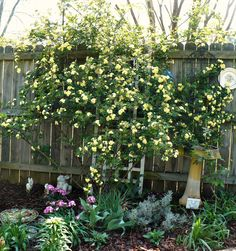 """I also pinned this on my """"Evergreen Board"""" but I love the entire layout. Yellow Lady Banks Rose"""
