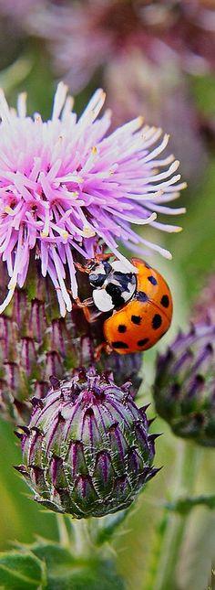 Ladybug on thistle.