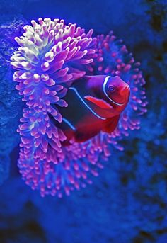 A clownfish pokes its head out of a sea anemone