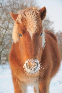 Icelandic #horse. I miss our Icelandic that we sold a couple of years ago. He was a gem. Sadly he was not really built to do what we were looking for him to do. He has a better time #trailriding with his family.