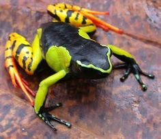 Mantella baroni is a species of frog in the Mantellidae family. It is endemic to Madagascar. ( Also called: Baron's mantella, variegated golden frog, Madagascar poison frog Rare Animals, Animals And Pets, Reptiles And Amphibians, Mammals, Beautiful Creatures, Animals Beautiful, Adorable Animals, Frosch Illustration, Amazing Frog
