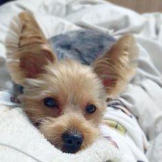 トリミングですっきり爽快💕  #instadog#dog#yorkie#yorkshireterrier#baby#mylove#japan#l4l#ヨーキー#ヨークシャテリア#愛犬#犬バカ部#요키#멍멍이#멍스타그램#개스타그램