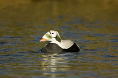 Spectacled Eider - Mike Powles/Oxford Scientific/Getty Images