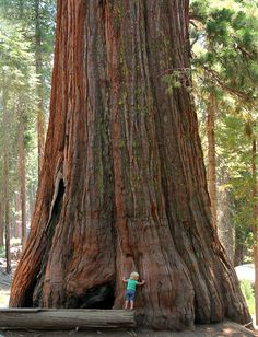 giant sequoia tree stock photo