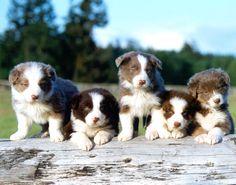 Border Collie Pups!