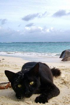 Black cat goes to the beach! 🙂 Black cat goes to the beach! Beautiful Cats, Animals Beautiful, Cute Animals, Crazy Cat Lady, Crazy Cats, I Love Cats, Cool Cats, Animal Gato, Photo Chat