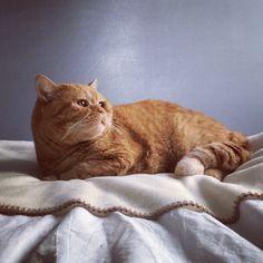 Igi orange british short hair cat - garfield :-)