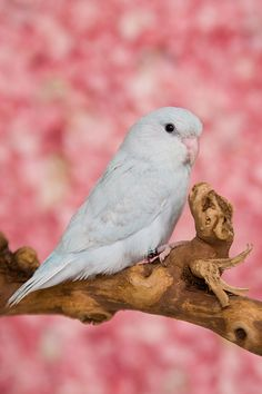 Albino $= comment:Parakeet...I have one of these...by wendy