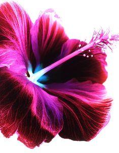 Hibiscus.. Polynesian..