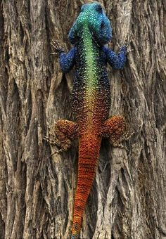 Blue-Headed Tree Agama (Acanthocercus Atricollis)