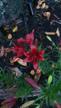 Asiatic lilies.  Transplanted bulbs this spring.  was so thrilled that they all survived and bloomed this year