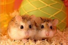 More dwarf hamsters!