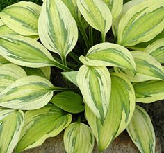 "Hosta 'Captain's Adventure,' $26.95 at Klehm's Song Sparrow. 14""h x 22""w. Zones 3-9. 3 for 75. Partial shade/full shade. Container sizes 2.06qt. ""Intriguingly complex pattern of cream, yellow and green glows in the shade garden. This very special H. 'Captain Kirk' sport combines luminous appeal with a good growth rate. Lavender flowers on 16"" scapes."""