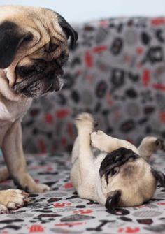 mama pug and her darling baby