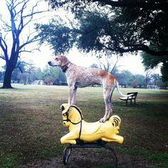 maddie, the coonhound. apparently she stands on anything.