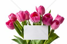 bouquet of pink tulips with white blank card - Bouquet of pink tulips with white blank card on white background