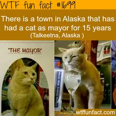 Town of Talkeetna, AK has a cat as mayor. Probably a better mayor than Palin was for Wasilla, AK.- WTF fun facts