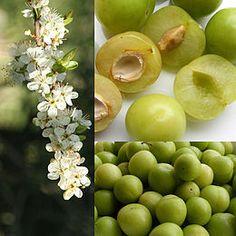 http://winemaking.jackkeller.net/reques12.asp Plume wine recipe #1 (dry)