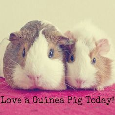 Love a guinea pig today!