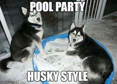 Find Out More On Agile Siberian Husky Dogs Exercise Needs Funny Animal Memes, Cute Funny Animals, Funny Dogs, Cute Dogs, Animal Jokes, Cute Dog Pictures, Funny Animal Pictures, Dog Photos, Siberian Husky Funny
