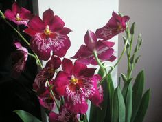 Google Image Result for http://www.flowers4gifts.co.uk/images/Miltonia%2520Orchids%2520008.jpg