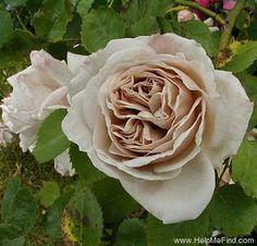 Ash Wednesday rose