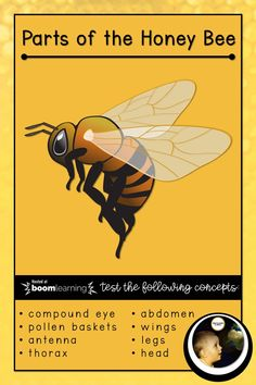 A quiz to test knowledge about parts of the Honey Bee, covering concepts such as: head thorax abdomen antenna wings legs compound eye pollen baskets materials materials materials learning bee Montessori Materials, Science Activities, Baskets, Homeschool, Bee, Wings, Honey, Knowledge, Learning